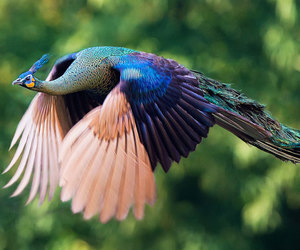 Flying, pavão, and peacock image