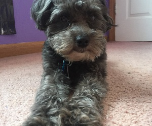 dog and schnoodle image
