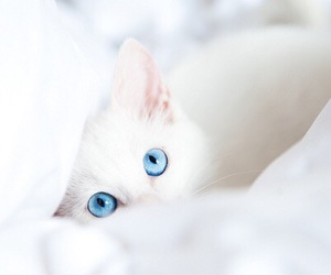 blue eyes, pets, and cat image