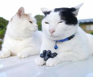cats, shironeko, and cute image