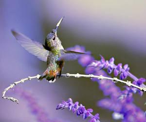 colibri, hummingbird, and floral image