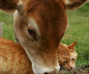 cat, cow, and love image