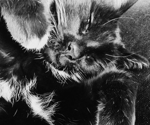 black & white, photography, and cat image