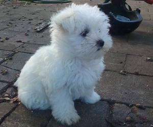 animal, dog, and maltese image