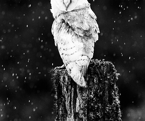animal, owl, and black and white image
