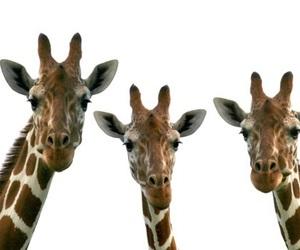 giraffe, overlay, and transparent image
