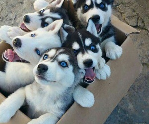 5, huskies, and puppies image