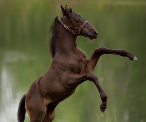 animal, beautiful, and dressage image