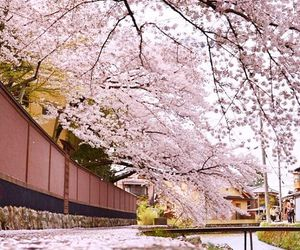 sakura, japan, and asia image