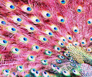 pink, peacock, and feather image