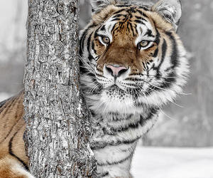 wild, snow, and tiger image