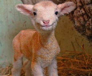 animal, farm, and cute image