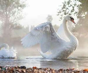 Swan, white, and bird image