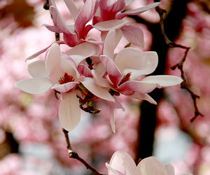 beautiful, flowers, and magnolia image