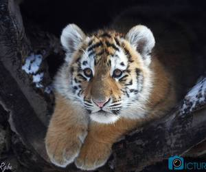 animal, baby, and tiger image
