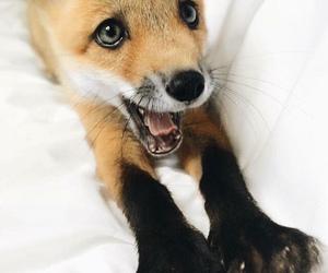 animal, fox, and baby image