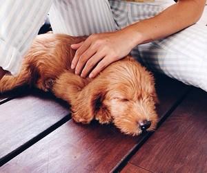 adorable, brown, and dog image
