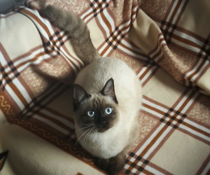 cat, pet, and siamese image