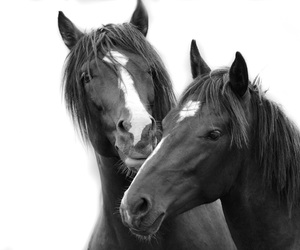 animal, black and white, and horse image