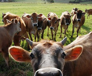 animals, cows, and farm image