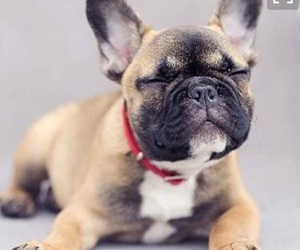 animal, dog, and french bulldog image