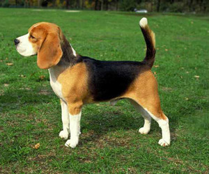 beagle, pet, and puppy image