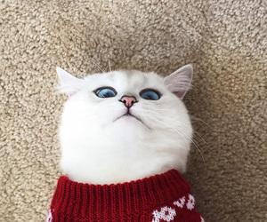 cat, animal, and blue eyes image
