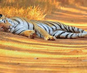 lovely, ​beatiful, and tigar image
