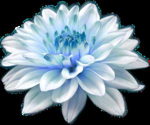 flower, light blue, and white image