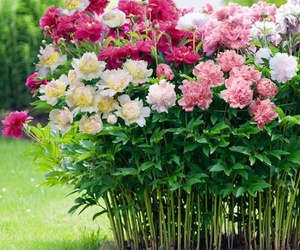 flowers, garden, and peonies image