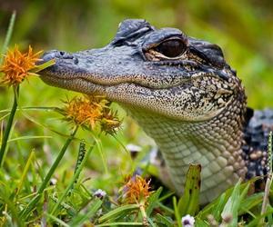 alligator, nature, and crocodile image