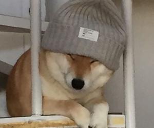 dog and shibe image