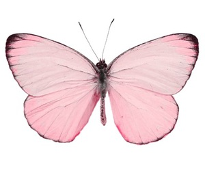butterfly and pink image