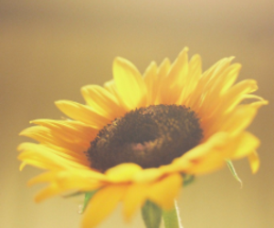 beauty, lovely, and sunflower image