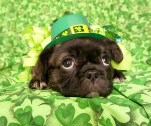 dogs, pug, and st. patrick's day image