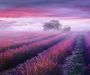 purple, lavender, and nature image