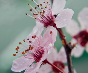 blossoms, nature, and pink flowers image
