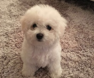 puppy, bichon, and cute image