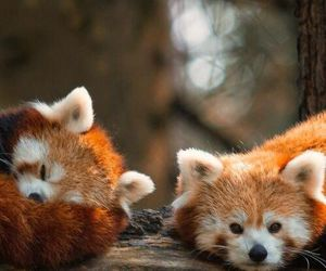 animal, cute, and fox image