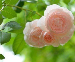 nature flowers rose image