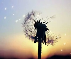 flowers, sunset, and dandelion image