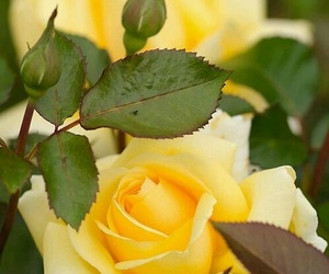 rose, in nature, and yellow image