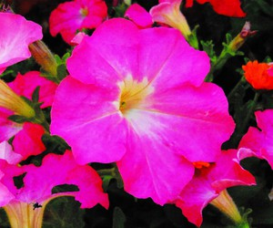 colors, pink, and floral image