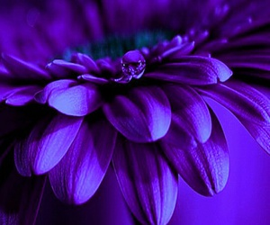 gerbera, daisy, and purple image