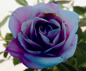 bloom, blue, and purple image