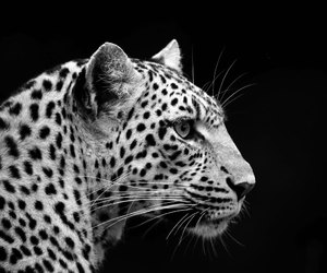 leopards, big cats, and cats image