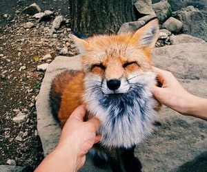 animal, cute, and fox image
