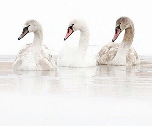 animals, water, and swans image