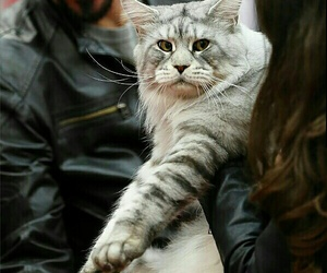 maine coon image