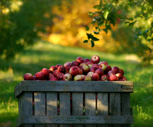 apple, green, and nature image